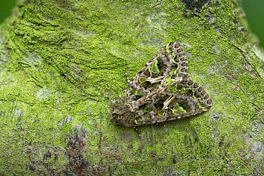 Orache moth (Trachea atriplicis) Cangas de Onis, Asturias, Spain, May