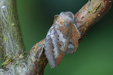 Moth (Phyllodesma japonica) Saint Petersburg, Russia, Controlled conditions