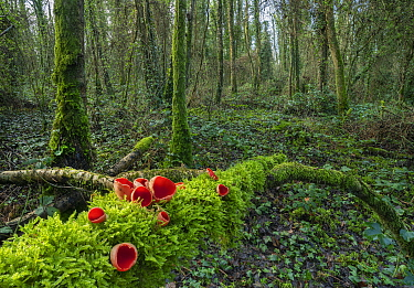 Scarlet elf cup fungus (Sarcoscypha coccinea) on fallen log in woodland, Peatlands Park Co. Armagh, Ireland, February