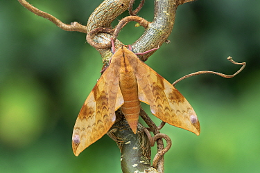 Velvet hawk-moth (Clanis undulosa) Khasan District, Primorski Kray, Far East Russia, Controlled conditions