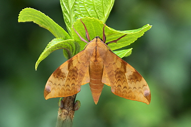 Velvet hawk-moth (Clanis undulosa) Khasan District, Primorski Kray, Far East Russia,