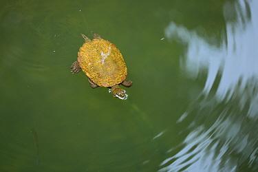 Saw-shelled turtle (Elseya latisternum / Myuchelys latisternum), Lacey Creek, Djiru National Park, Mission Beach, Queensland, Australia, November.