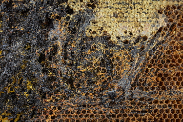 Unoccupied or empty Honey bee (Apis mellifera) combs infested by Lesser wax moth (Achroia grisella) larvae which leave behind silk tunnels and frass as they move through and feed on the honeycomb, Ger...
