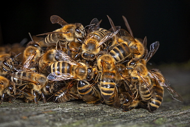 Honey bees (Apis mellifera) attacking a hornet (Vespa crabro). Honeybees survive a 1 degree Celsius higher body temperature than hornets. When they attack the hornet, they cover it, heat their own bod...