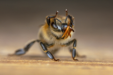 Honey bee (Apis mellifera) poisoned bee turns out her mouthparts shortly before dying at hive entrance, Germany.