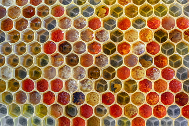 Honeycomb cells from honey bee (Apis mellifera) filled with colorful pollen from different flowers, Germany