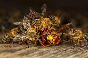 Honey bees (Apis mellifera) attacking a hornet (Vespa crabro). Honeybees survive a 1 degree Celsius higher body temperature than hornets. When they attack a hornet, they cover it, heat their own bodie...