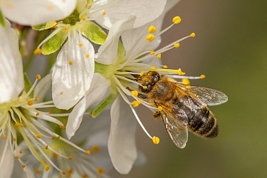 Honey bee (Apis mellifera) brushing past pollen on anthers to feed on Sweet cherry flower (Prunus avium), Germany. April.