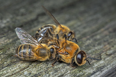 Honey bee (Apis mellifera) workers killing drone after mating season, Germany.
