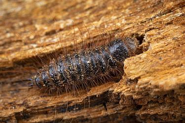 Larder beetle larva (Dermestes lardarius) inside a Honey bee (Apis mellifera) tree bee hive, Poland. These beetles and their larvae scavenge on dead bees.