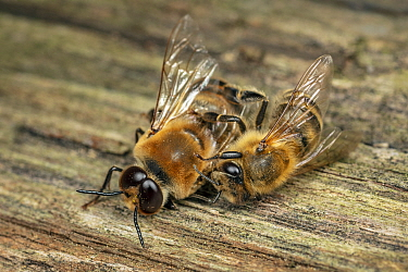 Honey bee (Apis mellifera) worker killing a drone in late summer, Germany