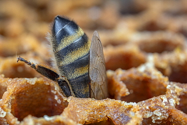 Honey bee (Apis mellifera) stealing honey from an opened cell after its colony attacked another. Germany.