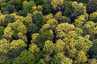 Aerial photo of flowering European Lime trees (Tilia x europaea) which are an important food source for Honey bees (Apis mellifera), Germany. June.
