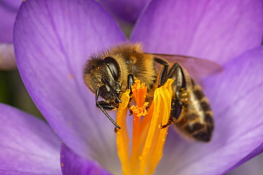 Honey bee (Apis mellifera) feeding on Crocus flower (Crocus vernus) flowering ) in spring, Germany.