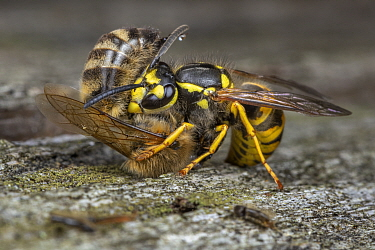 Honey bee (Apis mellifera) being attacked by German wasp (Vespula germanica) near nest entrance, Germany.