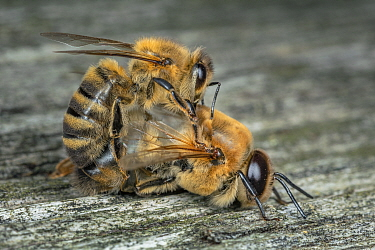 Honey bee (Apis mellifera), worker bee killing drone after mating season, Germany