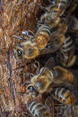 Honey bee (Apis mellifera) worker bees isolate wall inside their nest cavity, close to the entrance, with propolis or bee glue, Germany.