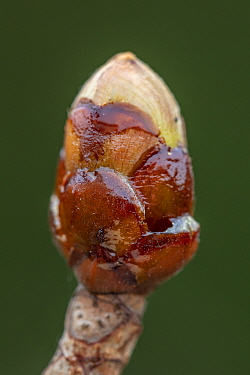 Chestnut bud (Aesculus hippocastanum), used by Honeybees (Apis mellifera) in making propolis or 'bee glue', Germany