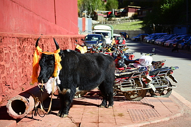 Yak parked up beside motorcycles outside Gonchen Gompa / Derge Monastery. Derge, Garze Tibetan Autonomous Prefecture, Sichuan, China. 2016.