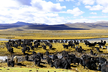 Yak (Bos grunniens) herd on plain beside river, mountains in background. Near Litang, Kham, Garze Tibetan Autonomous Prefecture, Sichuan, China. October 2016.