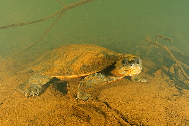 Irwin's turtle (Elseya irwini), adult male resting. Note the sediment disturbance to the rear of the turtle is caused by expulsion of water via cloacal respiration. North Johnstone River, downstre...