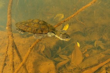 Irwin's turtle (Elseya irwini), juvenile swimming through submerged vegetation downstream of a riffle zone, North Johnstone River, downstream of Malanda, Far North Queensland, Australia. August. C...