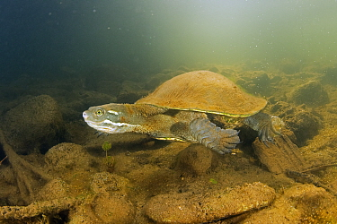 Krefft's river turtle (Emydura macquarii krefftii), adult actively moving along riverbed of the Mary River, Queensland, Australia. Cropped.