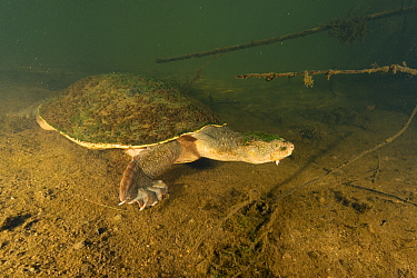 Mary river turtle (Elusor macrurus), full-sized adult male with alge-covered carapace heading for shelter under a fallen log, Mary River, Queensland, Australia. August.