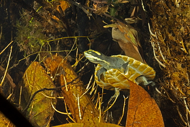 Northern yellow-faced turtle (Emydura tanybaraga), young juvenile resting in a sheltered spot in a shallow stretch of Berry Creek, Northern Territory, Australia. Cropped.