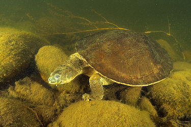 Fitzroy river turtle (Rheodytes leukops), adult actively moving along the riverbed, Connors River, Queensland, Australia. August.
