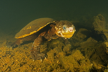 White-throated snapping turtle (Elseya albagula), large adult female with cataracts, found active, walking along the bottom of a deep pool in the upstream of the Mary River, Queensland, Australia. Aug...