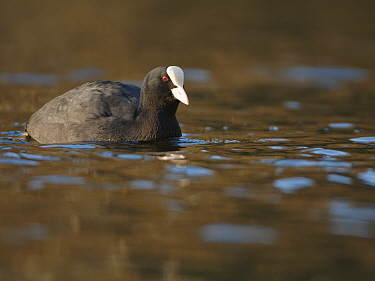 Coot (Fulica atra) swimming on a lake low winter sunshine, Wiltshire, UK, December.