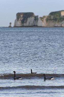 Brent goose (Branta bernicla) group swimming in the sea just offshore to access Sea grass beds (Zostera marina) as they become exposed on a falling tide with Old Harry's Rocks in the background, Studl...