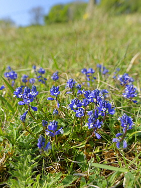 Chalk Milkwort (Polygala calcarea) clump flowering on chalk grassland slope, Wiltshire, UK, April.