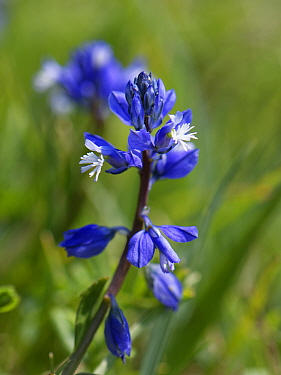 Chalk Milkwort (Polygala calcarea) flowering on chalk grassland slope, Wiltshire, UK, April.