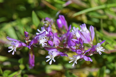 Chalk Milkwort (Polygala calcarea), pink form, flowering on chalk grassland slope, Wiltshire, UK, April.