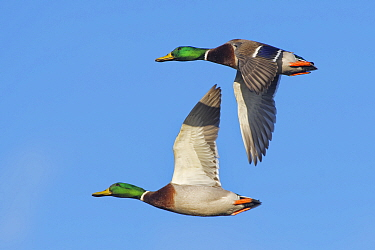 Two Mallard drakes (Anas platyrhynchos) in fight overhead against a blue sky, Gloucestershire, UK, February.