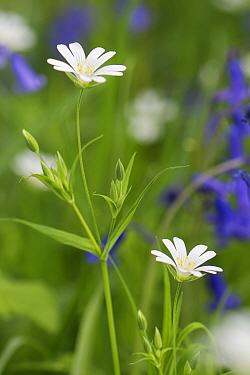 Greater stitchwort (Stellaria holostea) flowering among Bluebells (Hyacinthoides nonscripta) in woodland understorey, near Box, Wiltshire, UK, April.