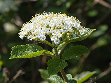 Wayfaring tree (Viburnum lantana) flowering in a hedgerow, Wiltshire, UK, April.