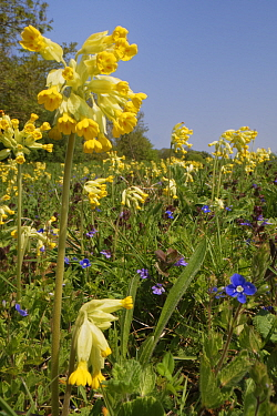 Cowslips (Primula veris), Germander speedwell (Veronica chamaedris) and Ground ivy (Glechoma hederacea) flowering in profusion on a chalk grassland common, near Box, Wiltshire, UK, April.