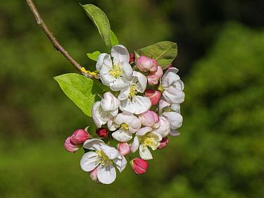 Crab apple (Malus sylvestnis) tree flowers in a garden, Wiltshire, UK, April.