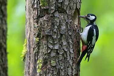 Great Spotted Woodpecker (Dendrocopos major) at nest hole in tree trunk, France