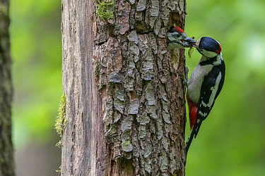 Great Spotted Woodpecker (Dendrocopos major) feeding mate at nest in tree trunk, France