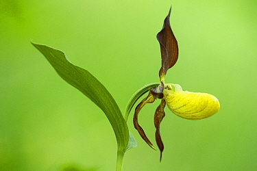 Lady's slipper orchid (Cypripedium calceolus ) France, June.