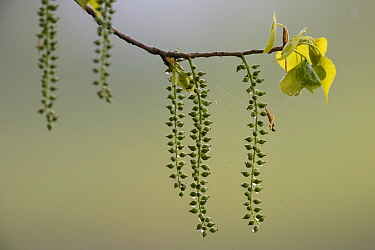 Catkins on Cottonwood (Populus nigra) Loire, France, April.