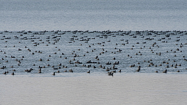 Flock of Coots (Fulica atra) in winter, Lac du Der, France, January.