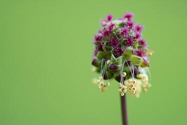 Salad burnet (Sanguisorba minor) flower, France, May.