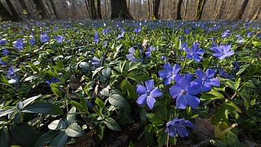 Common periwinkle (Vinca minor) flowers, Vosges, France, April.