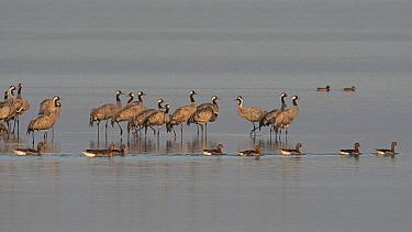 Common crane (Grus grus) and Greylag goose (Anser anser) Lac du Der, Champagne, France, February