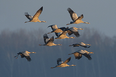 Common cranes (Grus grus) flock in flight, Lac du Der, Champagne, France, February.